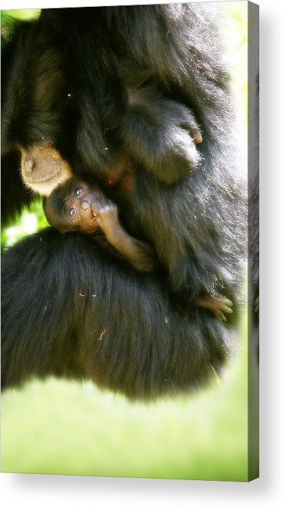 Monkey Acrylic Print featuring the photograph Mother And Baby Monkey by Lesley Smitheringale
