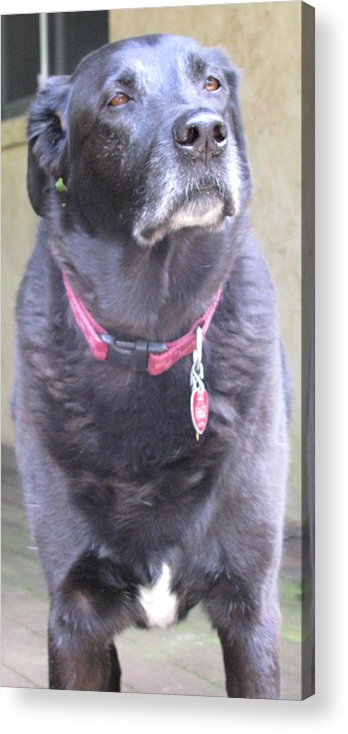 Dog Acrylic Print featuring the photograph The Unfairness Of It All by Belinda Consten