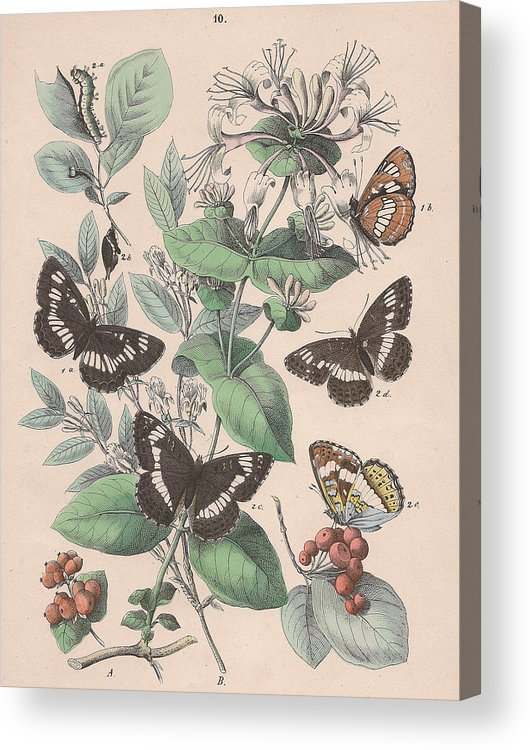 Butterfly Acrylic Print featuring the drawing Nymphalidae by W Kirby