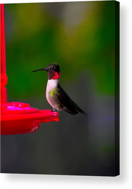 Bird Acrylic Print featuring the photograph Hummingbird Art 227 by Lawrence Hess