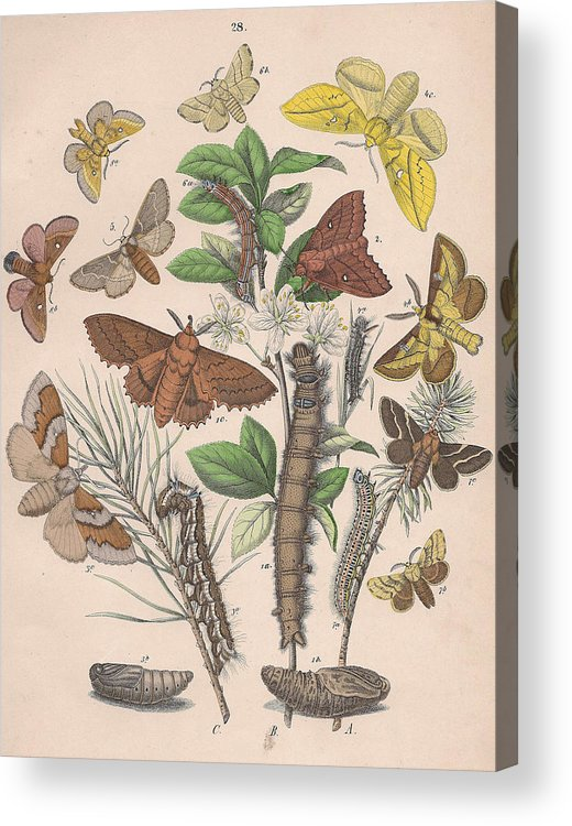 Butterfly Acrylic Print featuring the drawing Lasiocampa by W Kirby