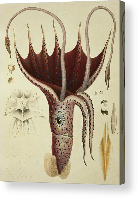 Cranchia Acrylic Print featuring the painting Squid by A Chazal