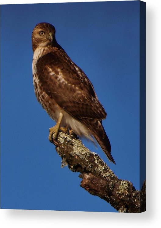Red Tailed Hawk Acrylic Print featuring the photograph Watchful Eye by Greg Kear