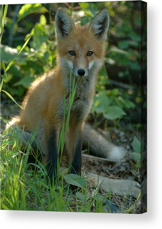 Young Fox   Taken In July Curious  Red Fox Acrylic Print featuring the photograph Watchful by Sandra Updyke