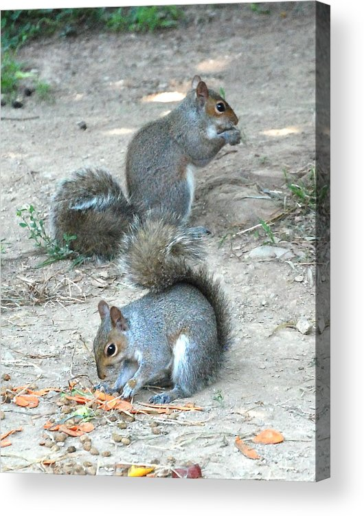 Squirrel.happy.eating.dinner.left Overs.nature.pest.two.rodents.guest.bushy Tails.ground.find.cute.small.greeting Card.print.canvas.wrap.sweet.cute.together.grass.print Acrylic Print featuring the photograph Bushy Tails by Kathy Gibbons