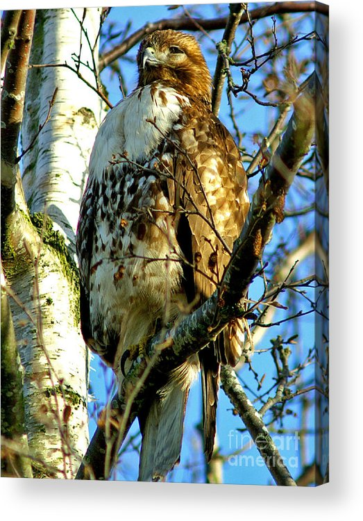 Hawks Acrylic Print featuring the photograph Perched Hawk by Randy Harris