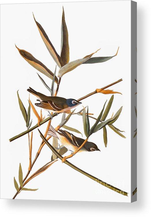 1838 Acrylic Print featuring the photograph Audubon: Vireo by Granger