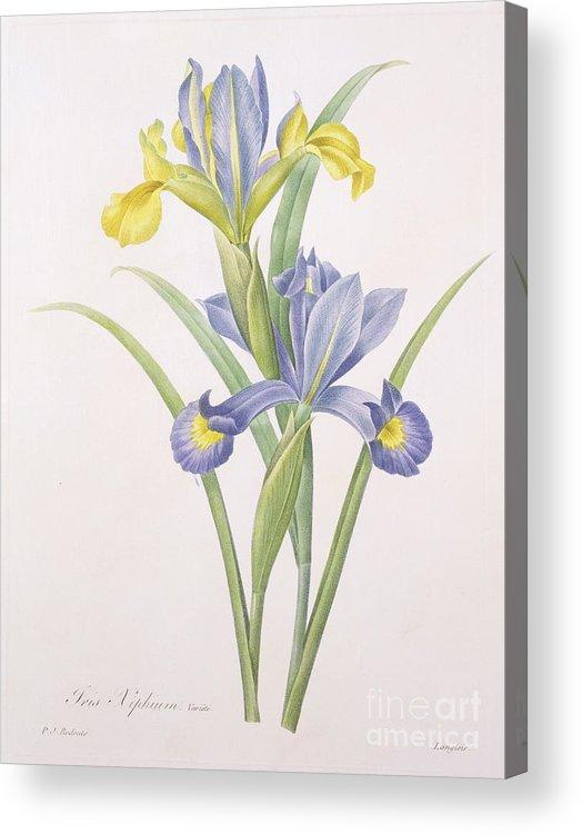 Iris Acrylic Print featuring the drawing Iris Xiphium by Pierre Joseph Redoute