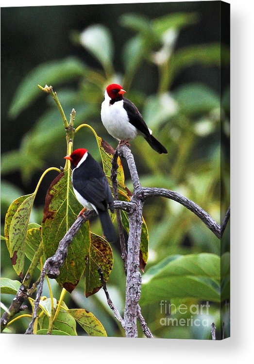 A Pair Of Redheads Acrylic Print featuring the photograph A Pair Of Redheads by Jennifer Robin