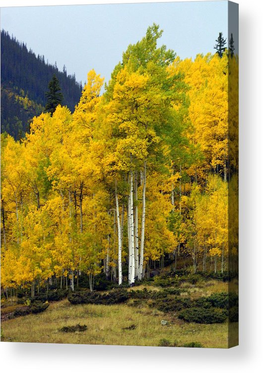 Fall Colors Acrylic Print featuring the photograph Aspen Fall 3 by Marty Koch