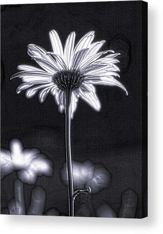 Black & White Acrylic Print featuring the photograph Daisy by Tony Cordoza