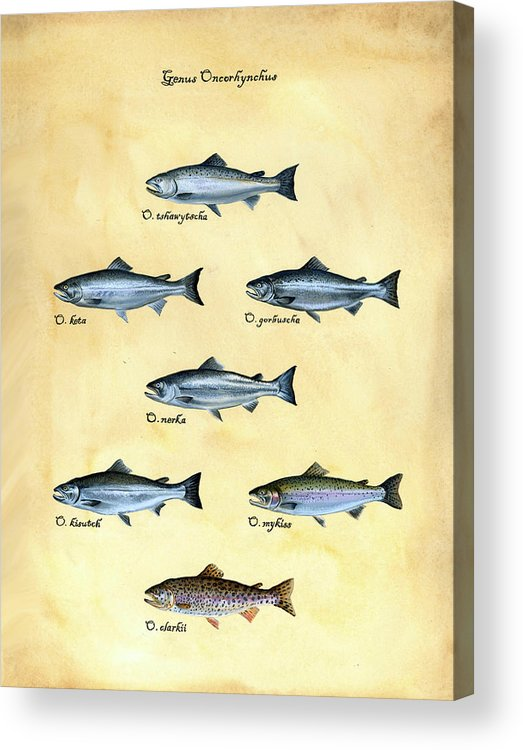 Salmon Acrylic Print featuring the painting Genus Oncorhynchus by Logan Parsons
