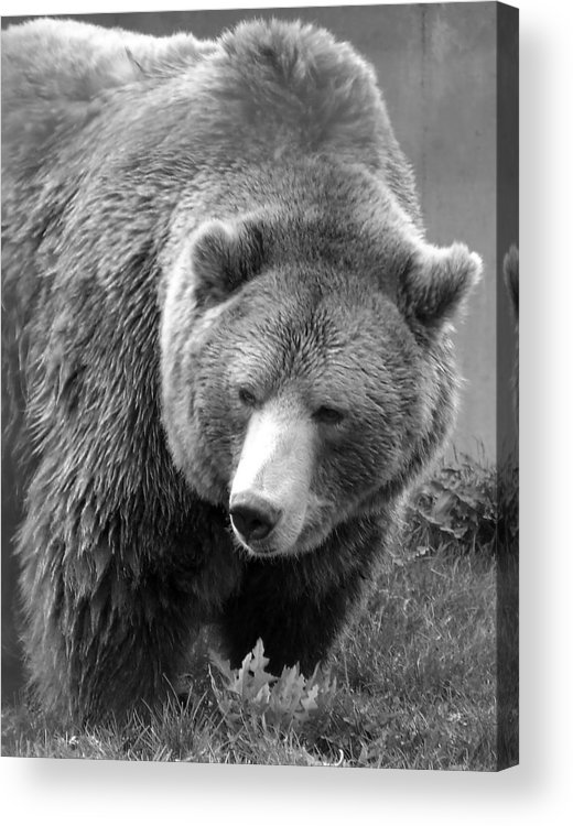 Grizzly Bear Acrylic Print featuring the photograph Grizzly Bear And Black And White by Tiffany Vest