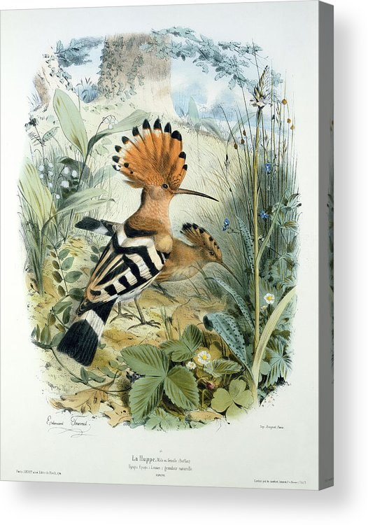 Hoopoe (upupa Epops) (colour Litho) By Edouard Travies (1809-c.1865) Acrylic Print featuring the painting Hoopoe by Edouard Travies