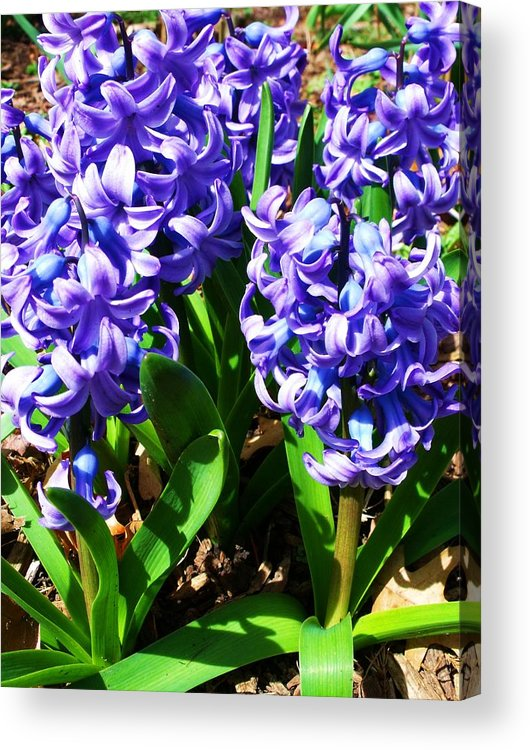Purple Acrylic Print featuring the photograph Hyacinths by Anna Villarreal Garbis