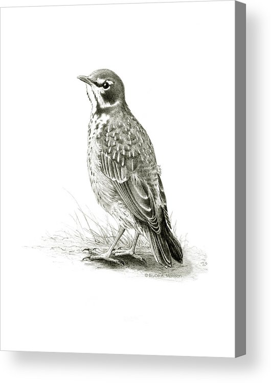 Birds Acrylic Print featuring the drawing Immature American Robin by Bruce Morrison