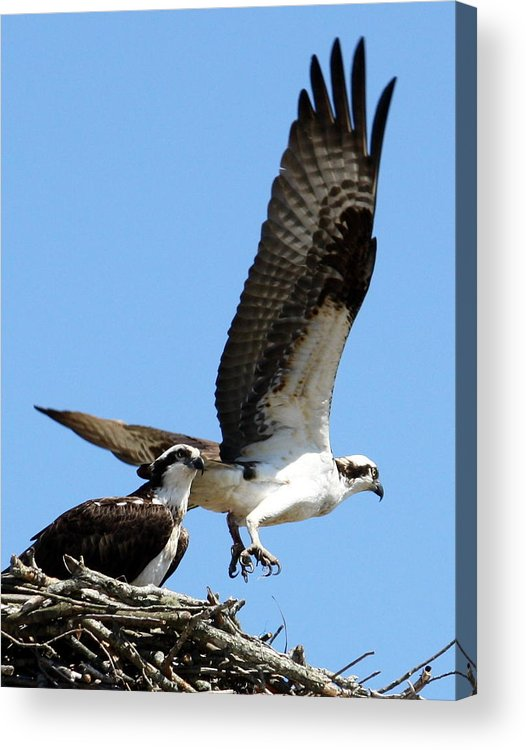 Osprey Acrylic Print featuring the photograph Parting Is Such Sweet Sorrow by Annie Babineau