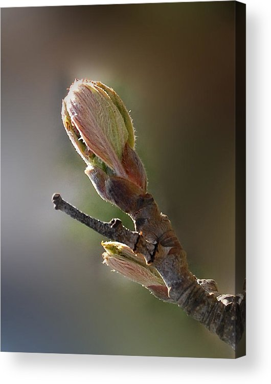 Tree Bud Acrylic Print featuring the photograph Reaching For The Sun by Marilynne Bull