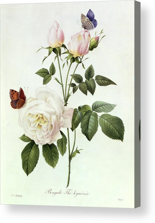Rosa Acrylic Print featuring the painting Rosa Bengale The Hymenes by Pierre Joseph Redoute