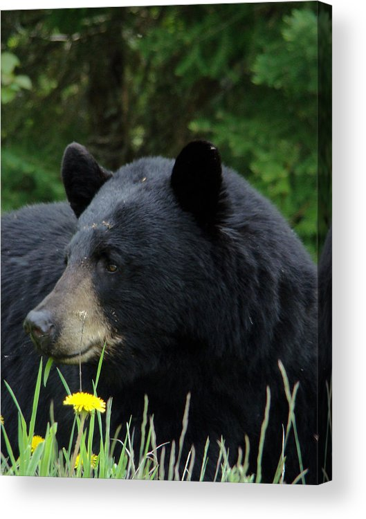 Bear Acrylic Print featuring the photograph Silly Ole Bear by Tingy Wende