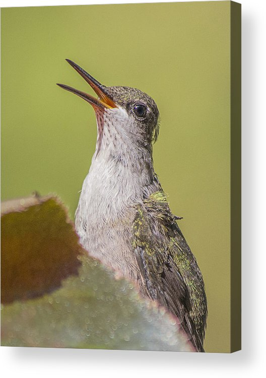 Hummingbird Acrylic Print featuring the photograph Singing Hummer by Sue Matsunaga