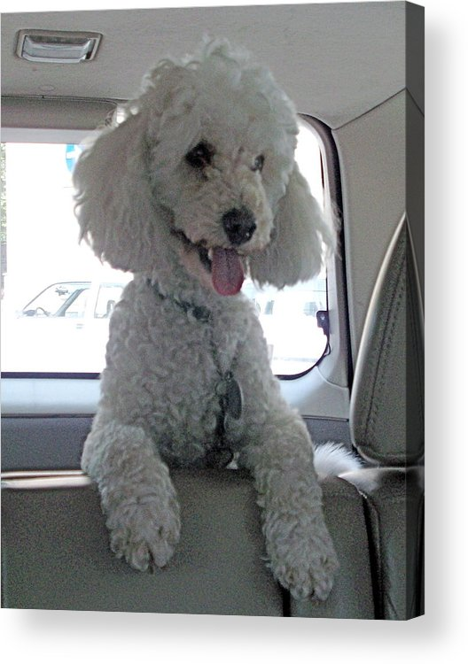 Poodle Acrylic Print featuring the photograph Sit Lilo Sit by Marina Owens