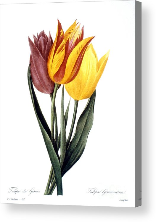 1833 Acrylic Print featuring the photograph Tulip (tulipa Gesneriana) by Granger