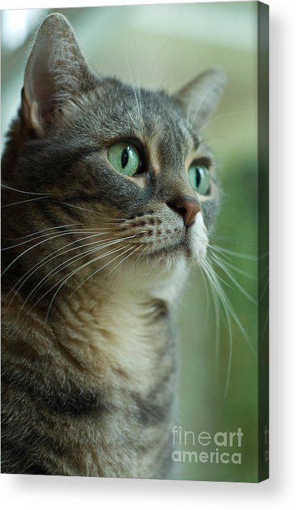 Alert Acrylic Print featuring the photograph American Shorthair Cat Profile by Amy Cicconi
