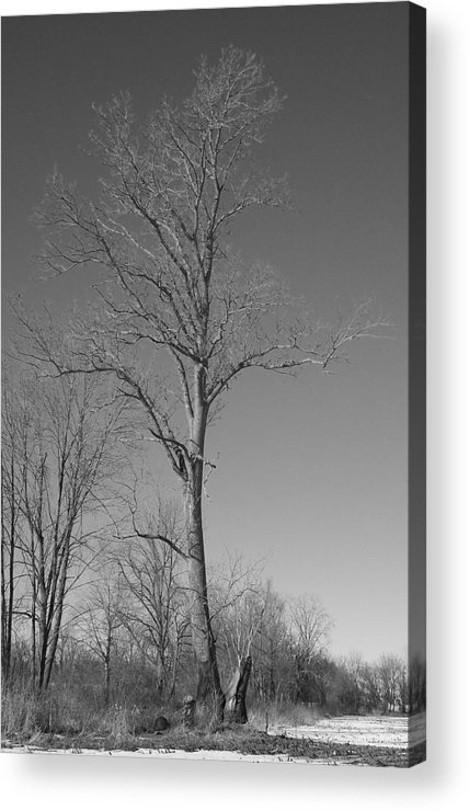 Tree Acrylic Print featuring the photograph Tree In Winter by Michelle Miron-Rebbe
