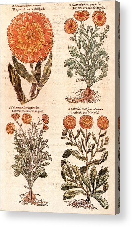 1597 Acrylic Print featuring the photograph Marigolds by Granger