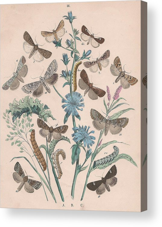 Butterfly Acrylic Print featuring the drawing Agrotidae - Hadenidae by W Kirby
