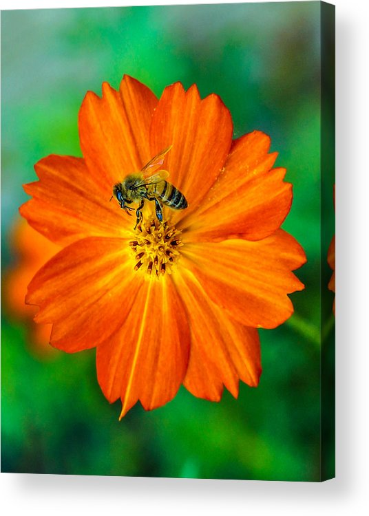 Bee Acrylic Print featuring the photograph Bee On The Orange Cosmos 2 by Randy Straka