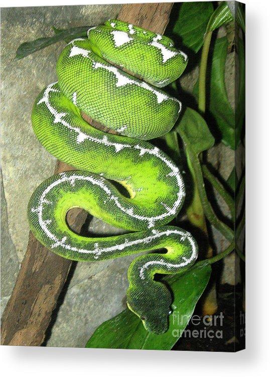 Snake Acrylic Print featuring the photograph Emerald Tree Boa by Patricia Januszkiewicz