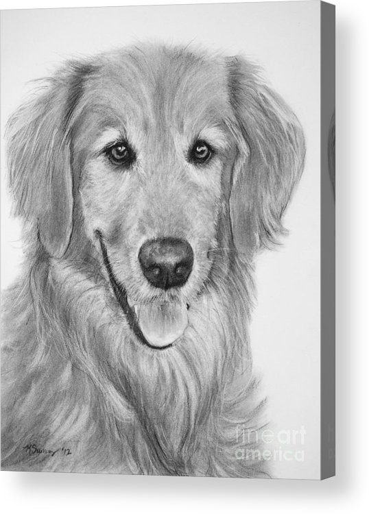 Golden Retriever Acrylic Print featuring the drawing Golden Retriever Sketch by Kate Sumners