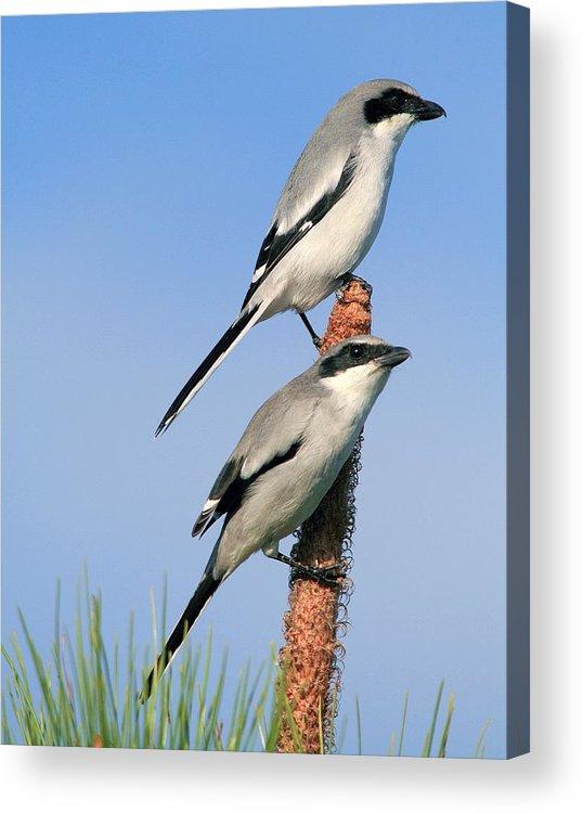 Animal Acrylic Print featuring the photograph Loggerhead Shrike Pair by Ira Runyan