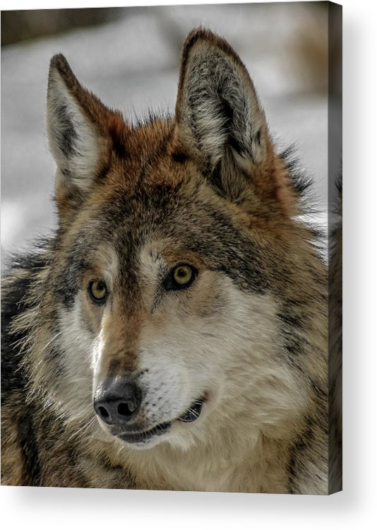 Wolf Acrylic Print featuring the photograph Mexican Grey Wolf Upclose by Ernie Echols