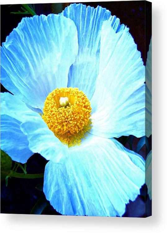 Flower Acrylic Print featuring the photograph Poppy 8 by Pamela Cooper