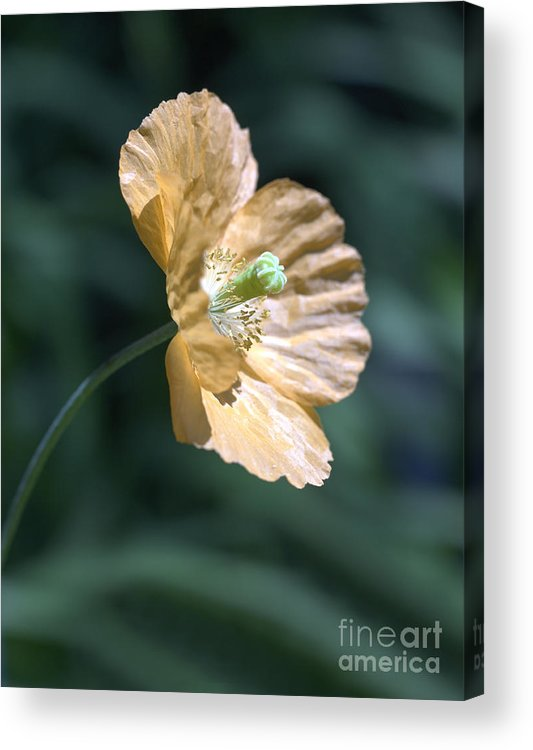 Poppy Orange Acrylic Print featuring the photograph Poppy by Tony Cordoza
