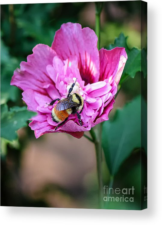 Macro Acrylic Print featuring the photograph the Bumble Bee by Mitch Johanson