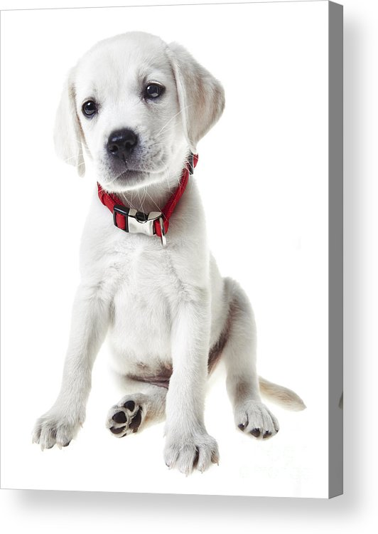 Puppy Acrylic Print featuring the photograph Yellow Lab Puppy by Diane Diederich