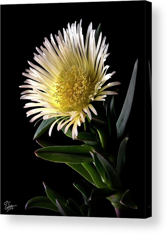 Flower Acrylic Print featuring the photograph Fancy Ice Plant by Endre Balogh