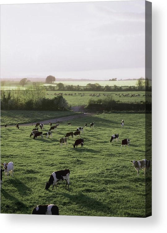 Field Acrylic Print featuring the photograph Friesian Bullocks, Ireland Herd Of by The Irish Image Collection