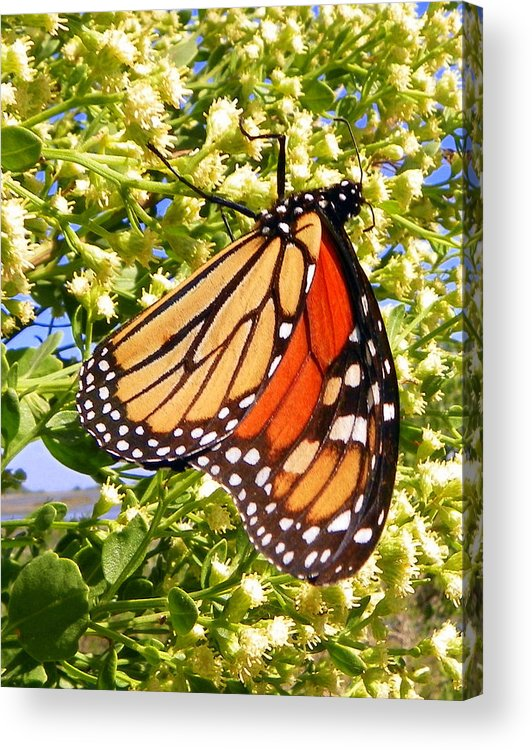 Butterfly Acrylic Print featuring the photograph Monarch An Wildflowers by Sheri McLeroy