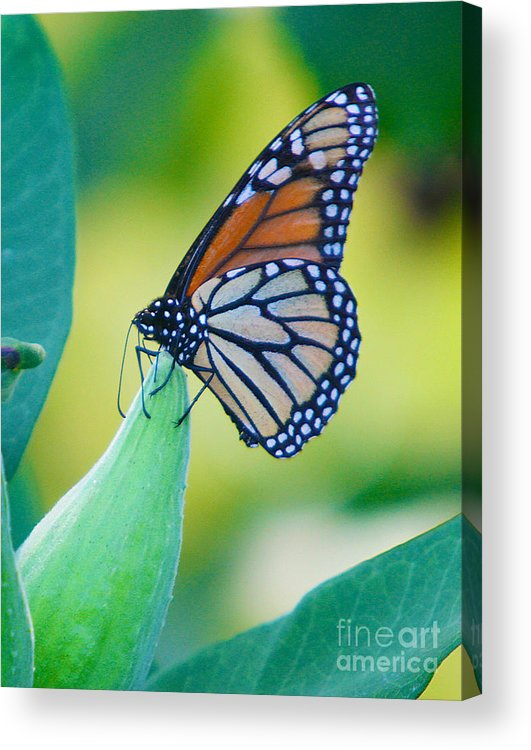 Butterfly Acrylic Print featuring the photograph Once A Year by Robert Pearson