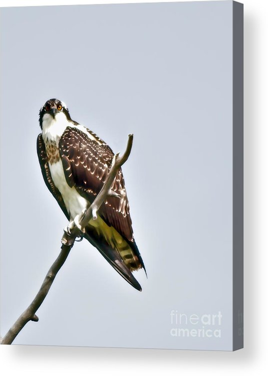 Osprey Acrylic Print featuring the photograph Osprey by Robert Bales