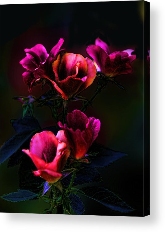 Plant Acrylic Print featuring the photograph Pink Roses Of The Night by Linda Phelps