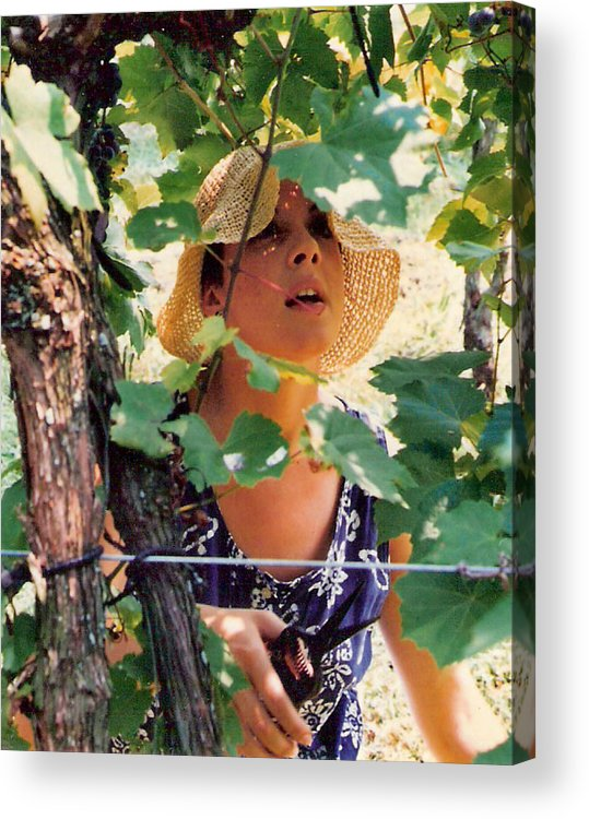 Harvest Acrylic Print featuring the photograph Vineyard Harvest by Padre Art