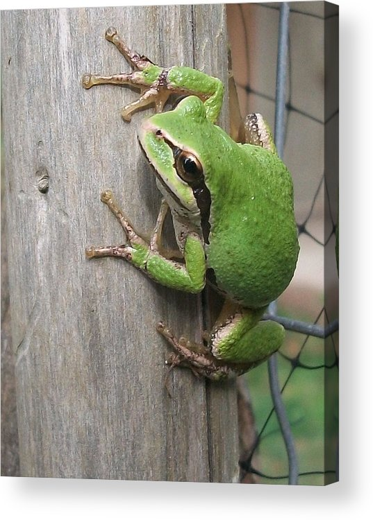 Frog Acrylic Print featuring the photograph Pacific Tree Frog by Shannon Gresham