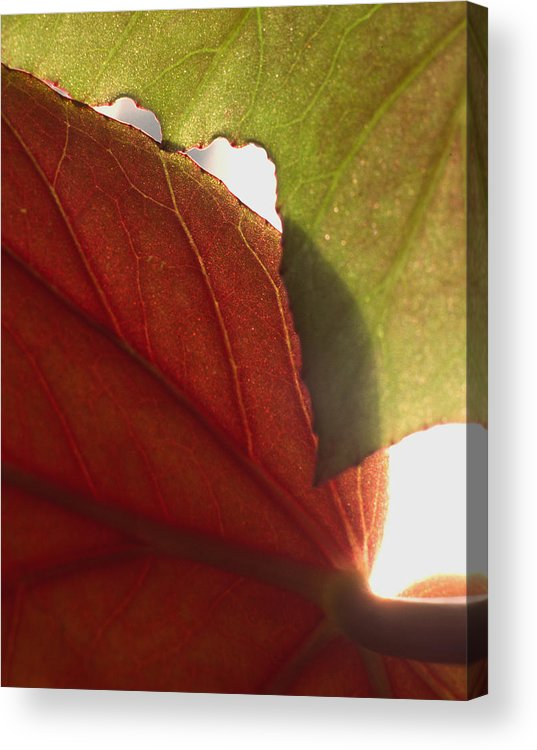 Floral Acrylic Print featuring the photograph Begonia 1 by Art Ferrier