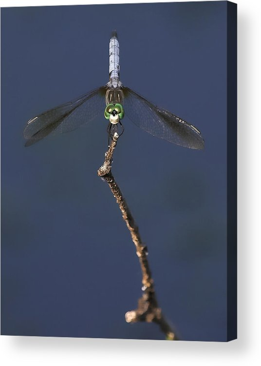 Dragonfly Acrylic Print featuring the photograph Common Green Darner by Ray Akey